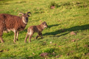 Soay lamb and mum